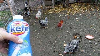 Tavuklara Kefir Verdim Kefirin Faydaları