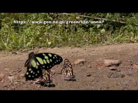 キルヌスタイマイの飛翔 Graphium cyrnus