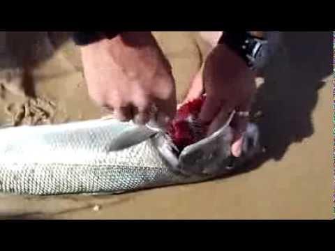 Sil y a dans le poisson séché des helminthes