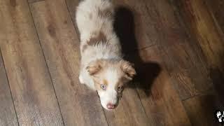8 week old Australian Shepherd puppy Sadie learning the basics | Houston dog training