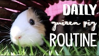 Daily Guinea Pig Routine 2019