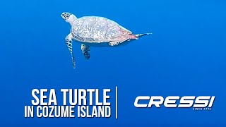 Sea Turtle swims in the clear, blue water of the Caribbean sea : Cozumel Island