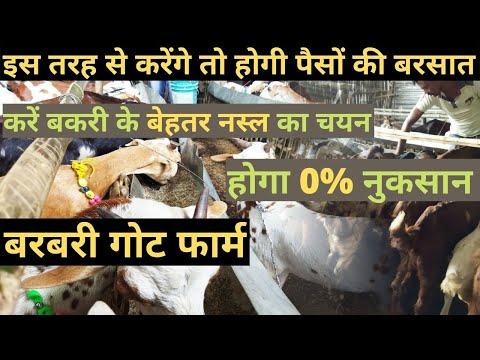 इस तरह से करेंगे Goat Farming तो होगी पैसों की बरसात Barbari Goat Farming | Cross Breed Goat Farming