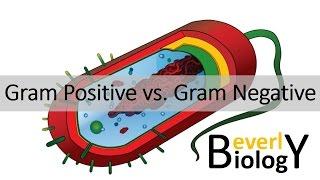 Gram Positive vs. Gram Negative Bacteria