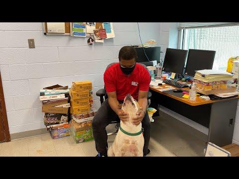 Frankie, an adoptable American Bulldog in Alexandria, VA_image-1