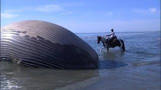 Une baleine de quinze tonnes échouée sur une plage camarguaise