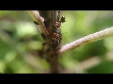 Troychatka da vermi su ivanchenko - Medicine di disposizione di parassiti in un corpo umano