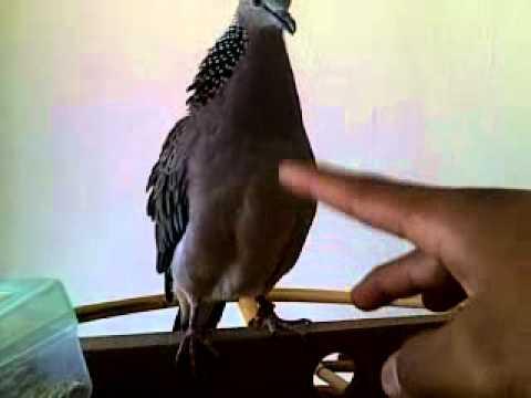 Video burung tekukur ku..