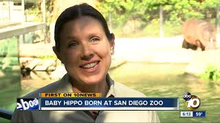 Baby Hippo Born At San Diego Zoo