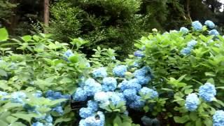 栃木県那珂川町鷲子山上神社の紫陽花2015年7月4日撮影①