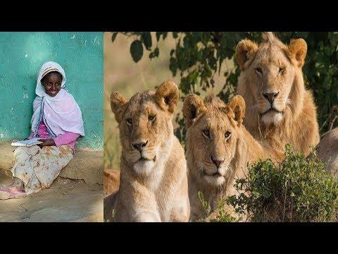 Takjub! Tiga Singa Liar Ini Selamatkan Anak 12 Tahun Dari