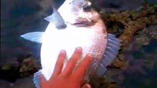 preview picture of video 'Raysse Chafik pêche en Skhirat / Maroc daurade royale de 2, 200 kg'