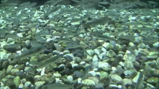 村上イヨボヤ会館新潟観光で鮭の生態観測