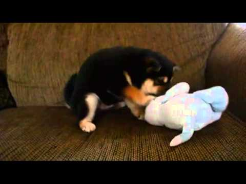 Jiro blk n tan puppy 1-11-13