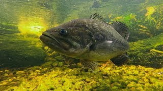 My Pet Bass Are Spawning! (Backyard Pond Update)