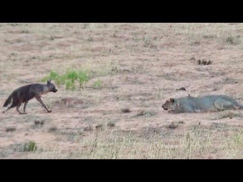 Везучая гиена чудом избежала смерти от зубов голодных хищников