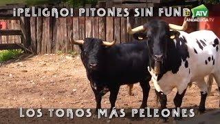 !!Peligro!! Pitones Sin Funda, Los Toros Más Peleones.