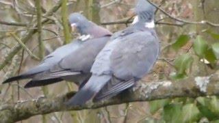 Liebesspiel der Tauben, beim Garten start up