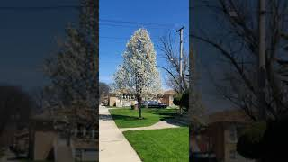 Flowering Trees In Chicago 2020