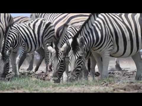 Зачем учёные надели костюм зебры на обычную лошадь? Во имя науки!