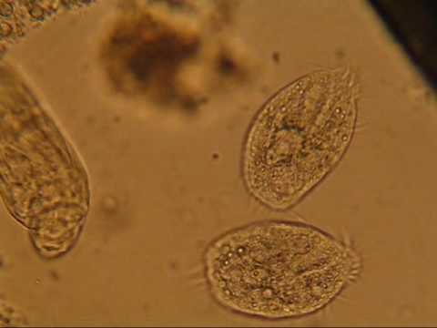 Bacteriophage จากปรสิต
