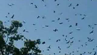 Bats flying in Cambodia