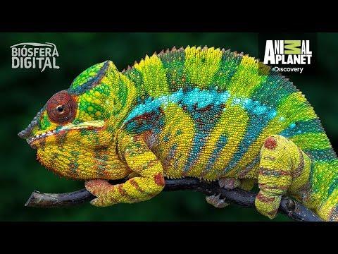 ¿Por qué cambian de color los camaleones? - Biósfera Digital