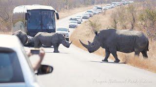 Rhino Traffic Jam Kruger Park