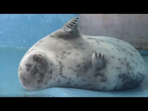 前肢がかゆいワモンアザラシ Ringed seal