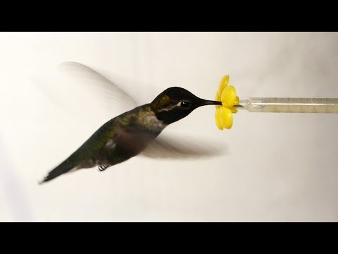 Hummingbird in a Wind Tunnel?