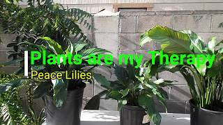 Houseplant Care:   Peace Lily Re Potting & Propagation