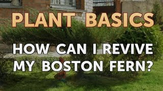 How Can I Revive My Boston Fern?