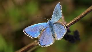 #FlyingFriday 🦋 The Common Blue Butterfly