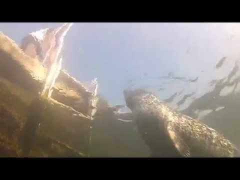 Seehundtauchen