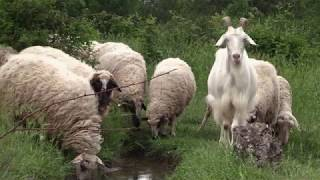 Bulgarie le berger aux oiseaux