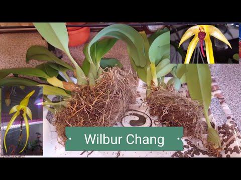 Bulbophyllum Wilbur  Chang..  Пересадка и деление. 1 часть