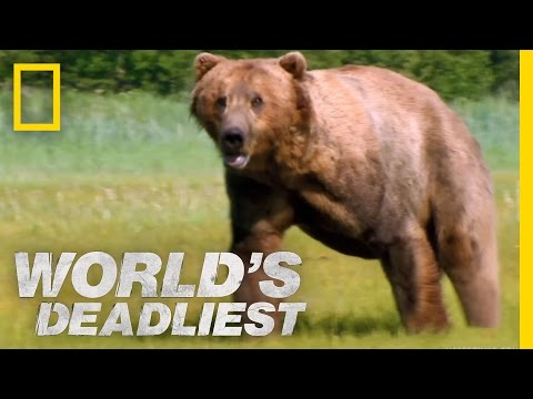 Download Grizzly Bear Attacks Prey | World's Deadliest HD Mp4 3GP Video and MP3