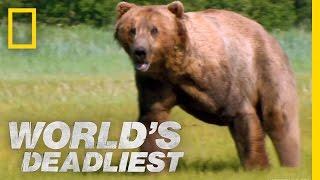 Grizzly Bear Attacks Prey | Worlds Deadliest