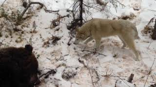 Первая охота на медведя Чанги С Туруханского края