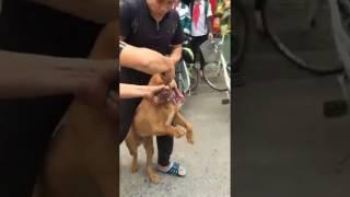 Chú chó Poodle tội nghiệp bị Pitbull cắn đến chết