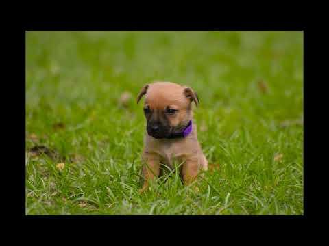Purple Collar Female puppy