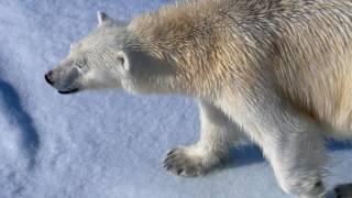 Arctic Queen - Svalbard Polar Bears