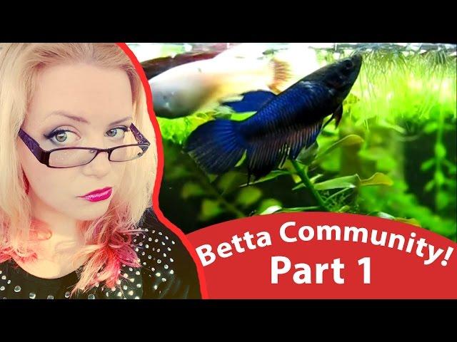 Happy Betta Fish in Community Tank - Sorority Tank