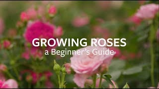 How to grow Roses   Grow at Home   Royal Horticultural Society