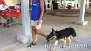 "7 Month Old German Shepherd ""Dewrs"" / German Shepherd Trainers/ Best Dog Trainers Orlando"