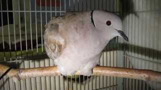 Injured dove