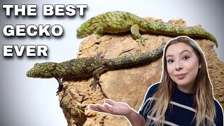 Chameleon Geckos! The Most Underrated Pet Gecko
