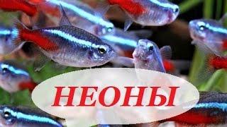 Аквариумные рыбки неоны. Содержание неонов, размножение, уход, совместимость.