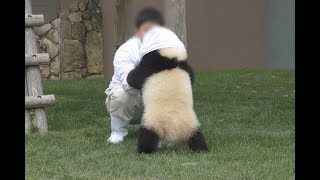【はっけヨイ♪】結浜🐼タオルはいいから遊んで~♪【赤ちゃんパンダ】Giant Panda -Yuihin-☆pushing sumo♪