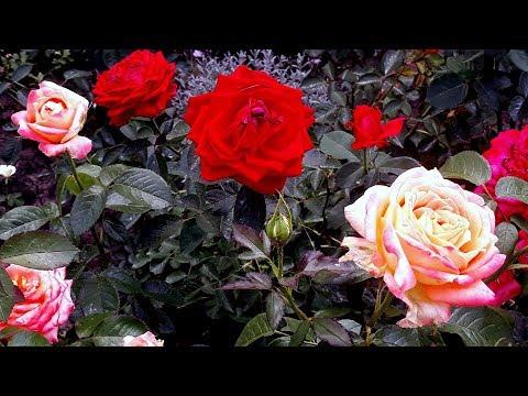Обзор моего сада июнь 2019 Розы в разгаре цветения